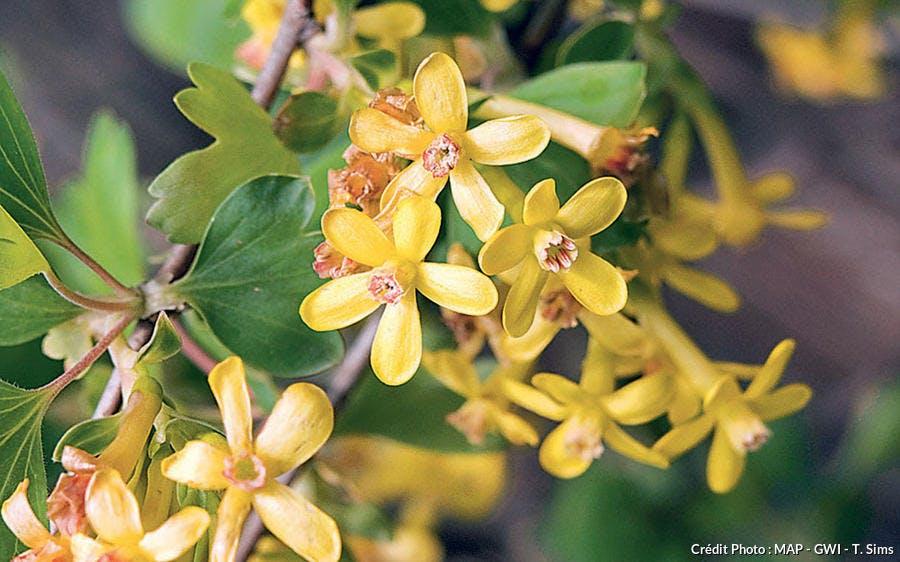 Groseillier à fleurs Ribes odoratum