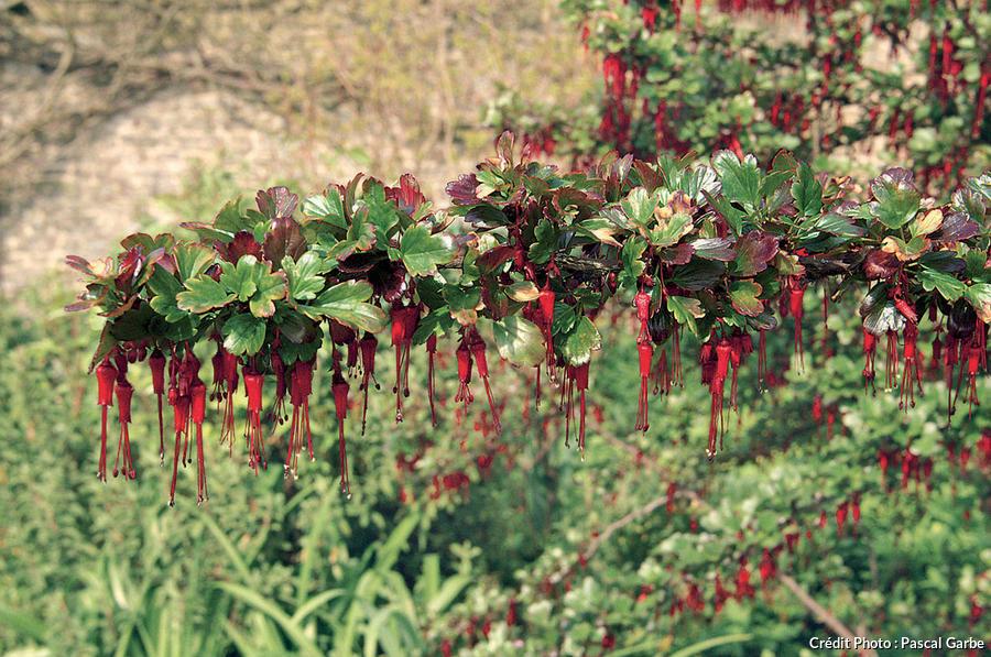 Groseillier à fleurs ( Ribes speciosum )