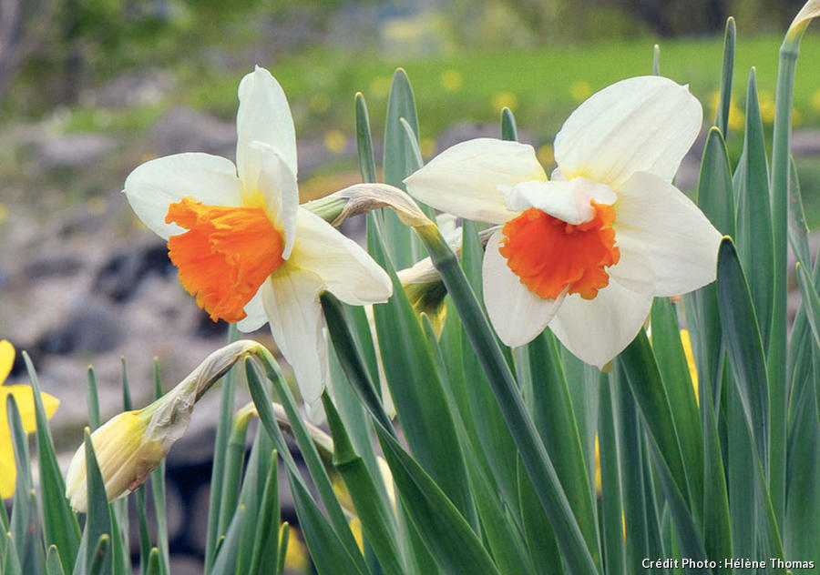 Narcisse 'Johann Strauss'