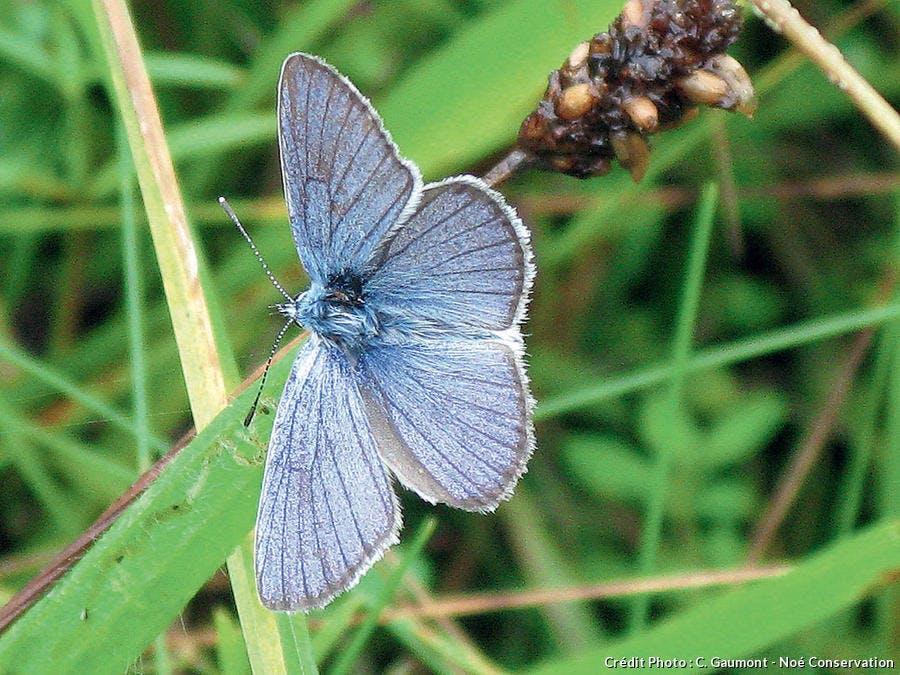 Lycène bleu