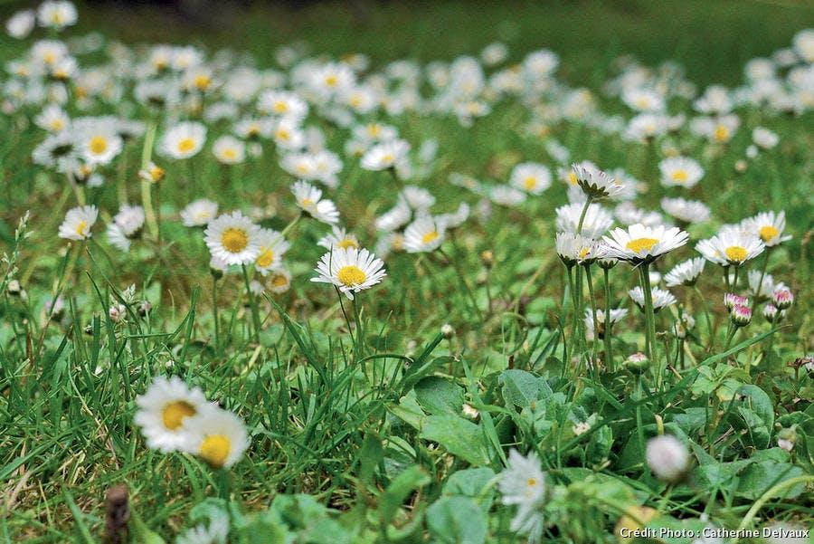 paquerettes dans pelouse
