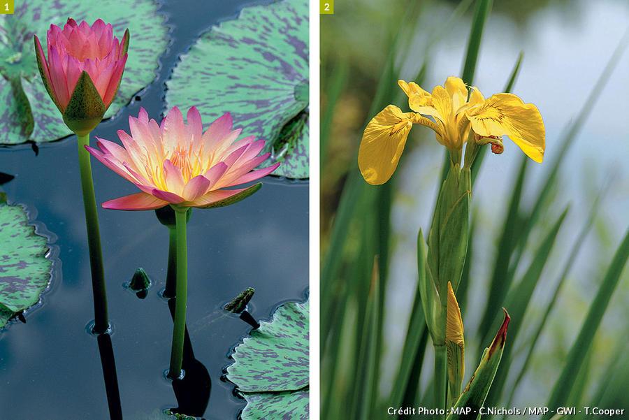 nénuphars et iris
