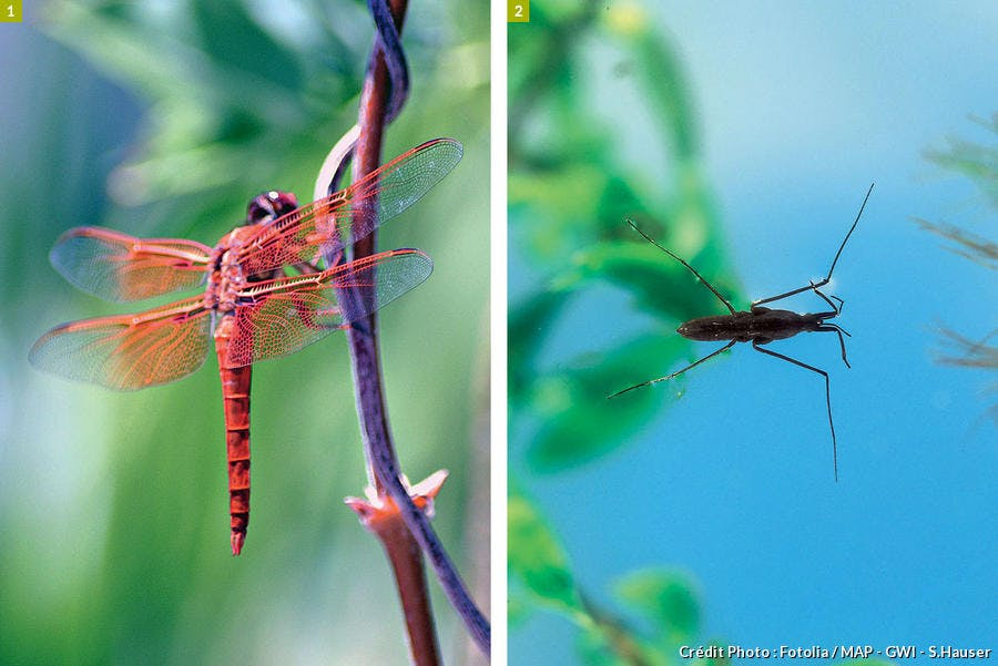libellule et gerris