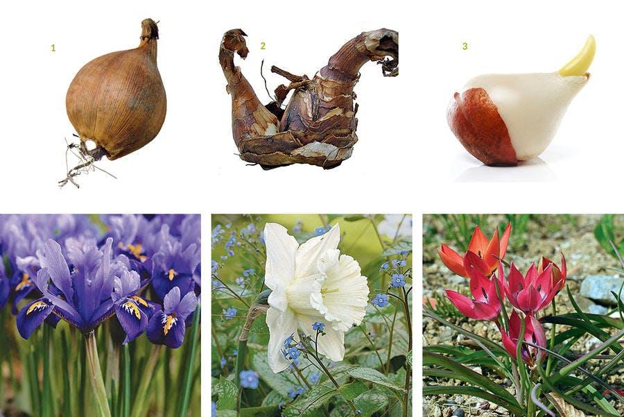 Bulbes associés à leurs fleurs