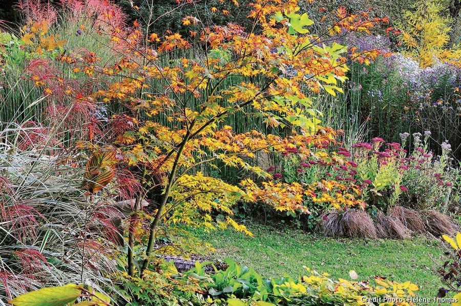Acer palmatum 'Osakazuki', l'un des plus beaux érables japonais.