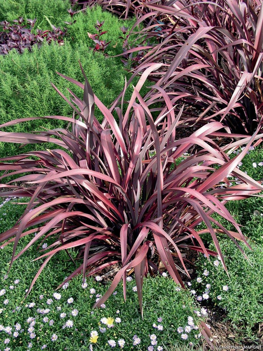 Phormium avec feuillage rouge