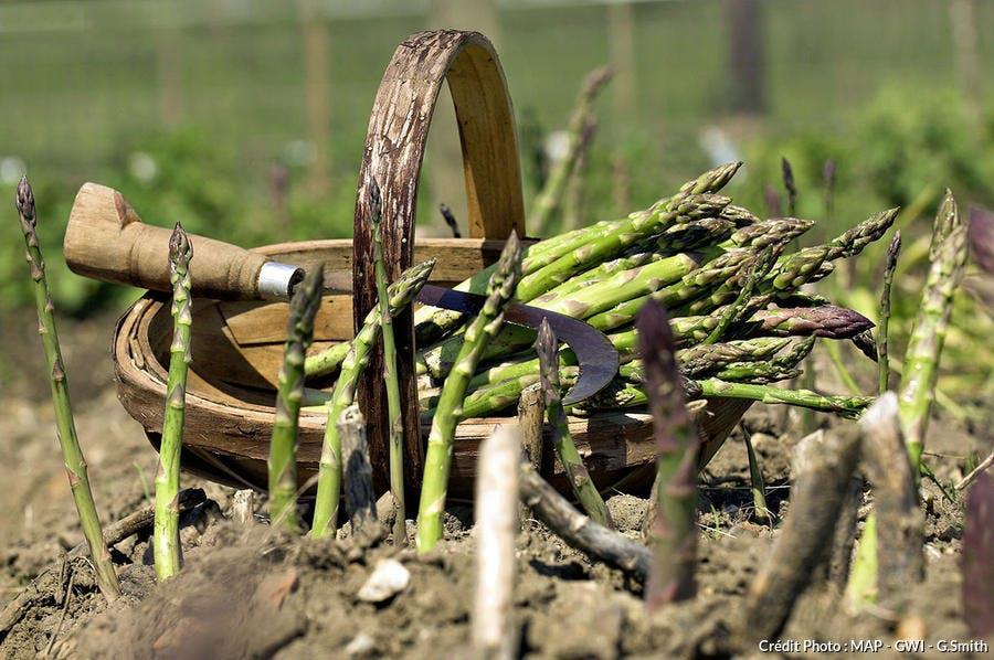 Cueillette des asperges