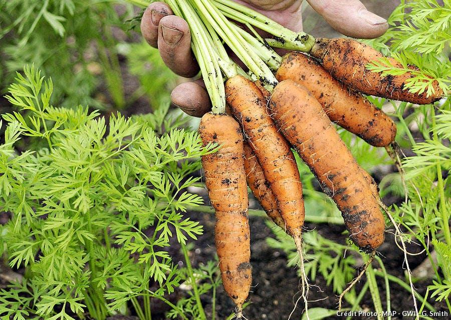 Récolter les carottes avec la Lune