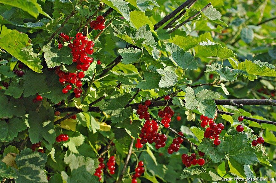 groseille rouge arbuste