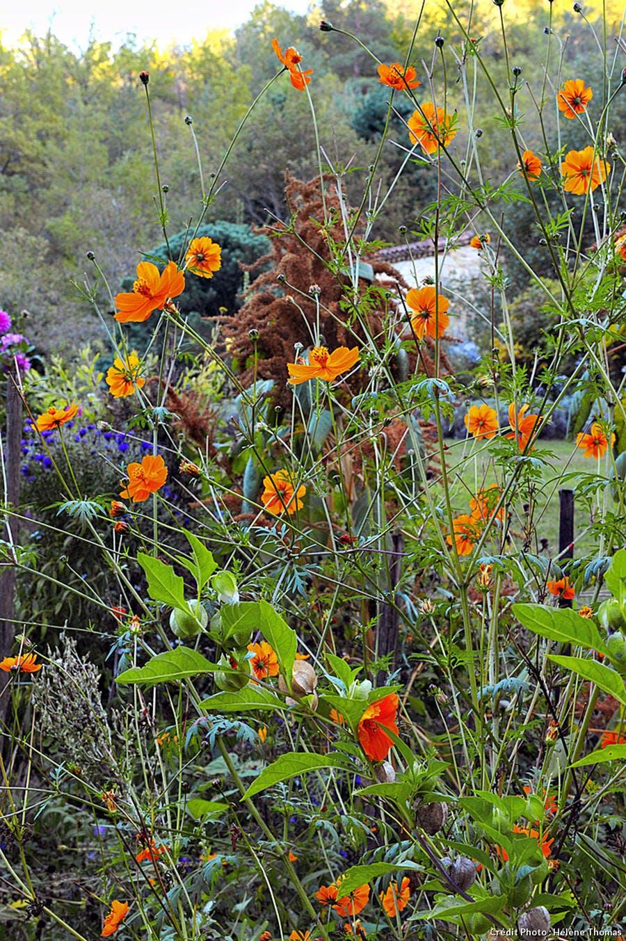 Jardins de l'Albarède, cosmos
