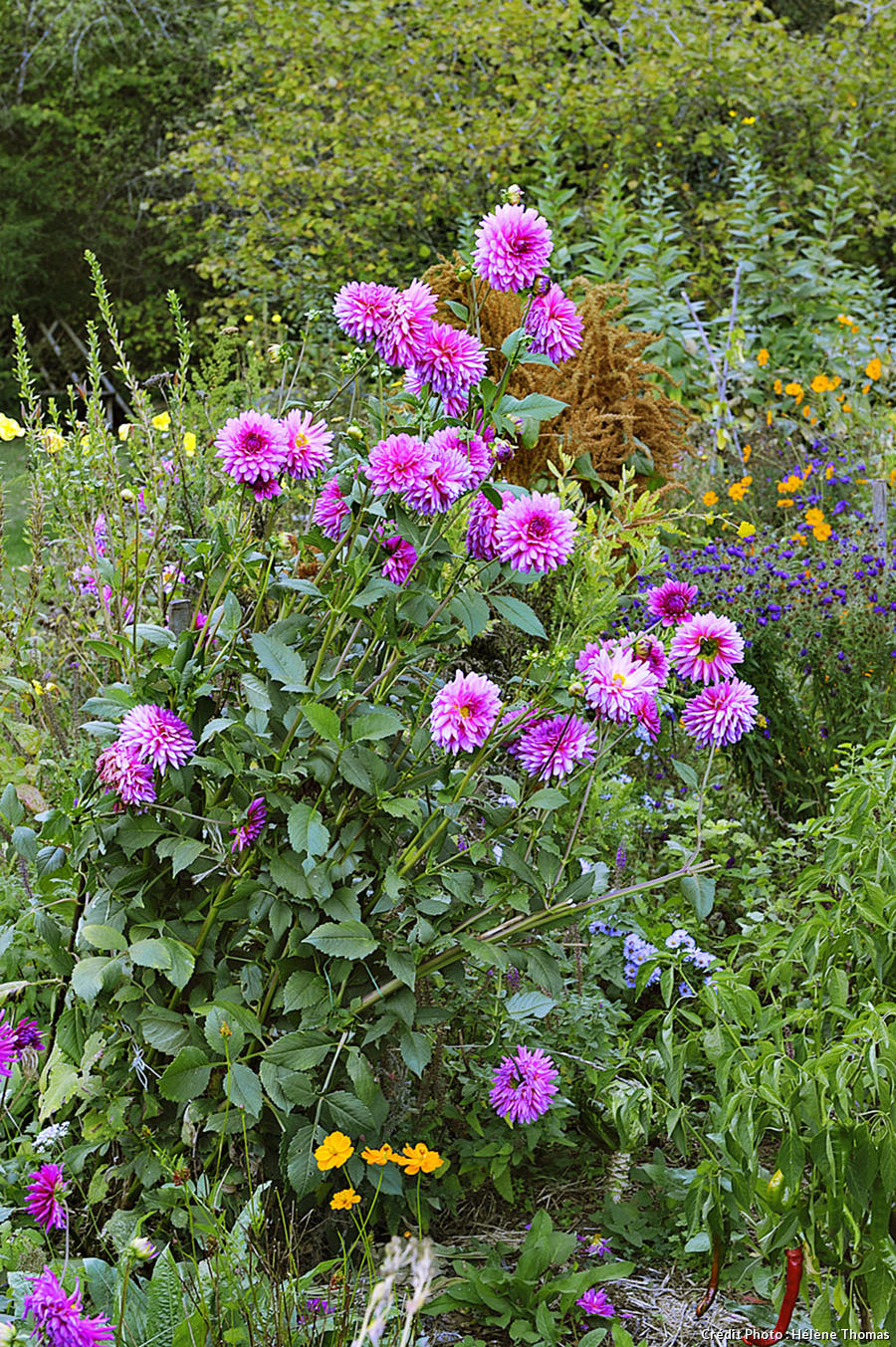 Jardins de l'Albarède, massif de dahlias