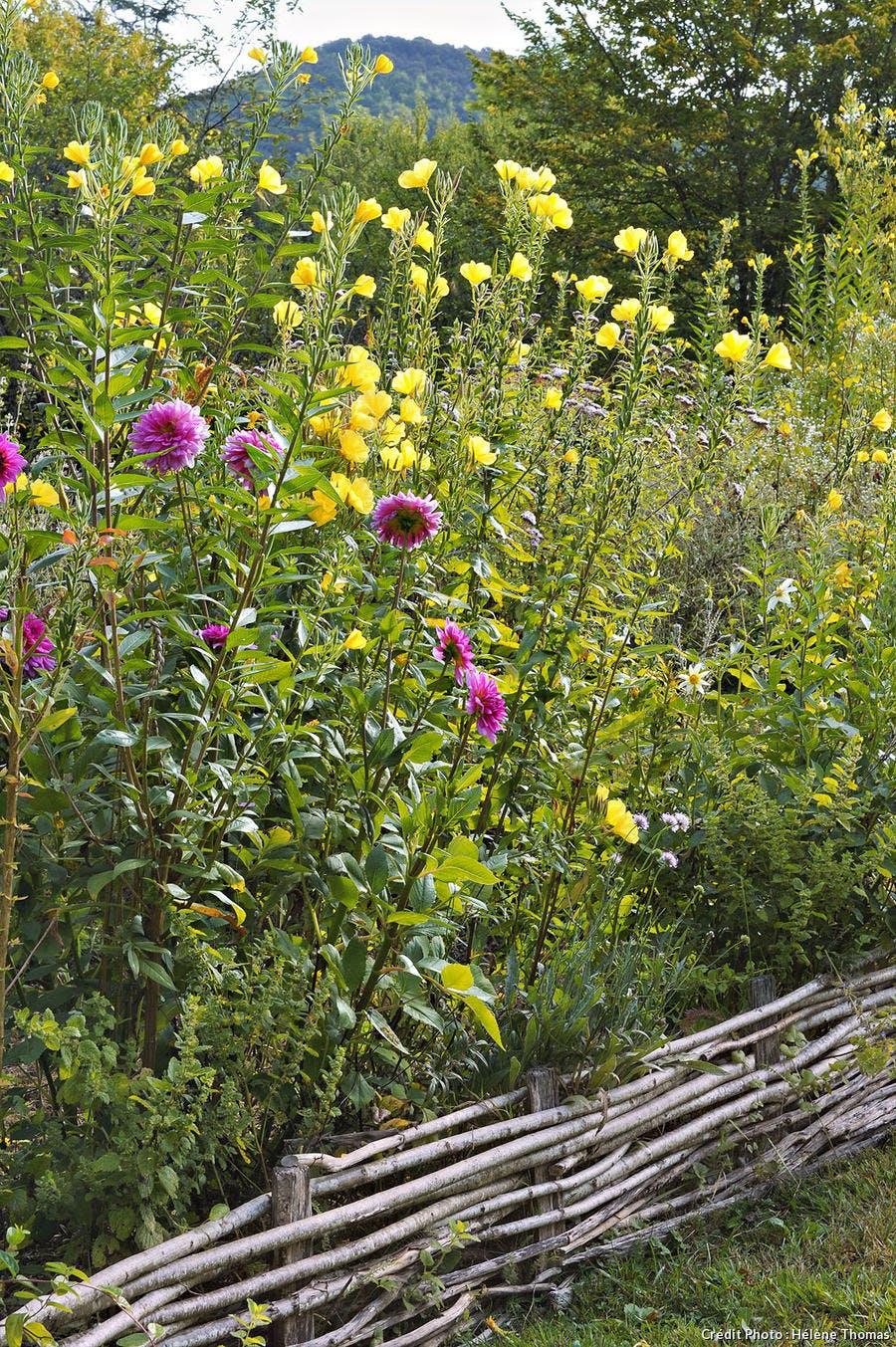 Les jardins de l'Albarède, massif d'onagres