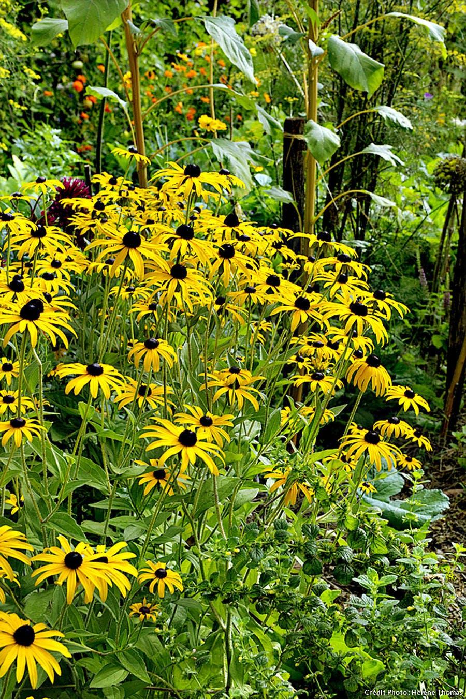 Jardins de l'Albarède, les rudbeckias