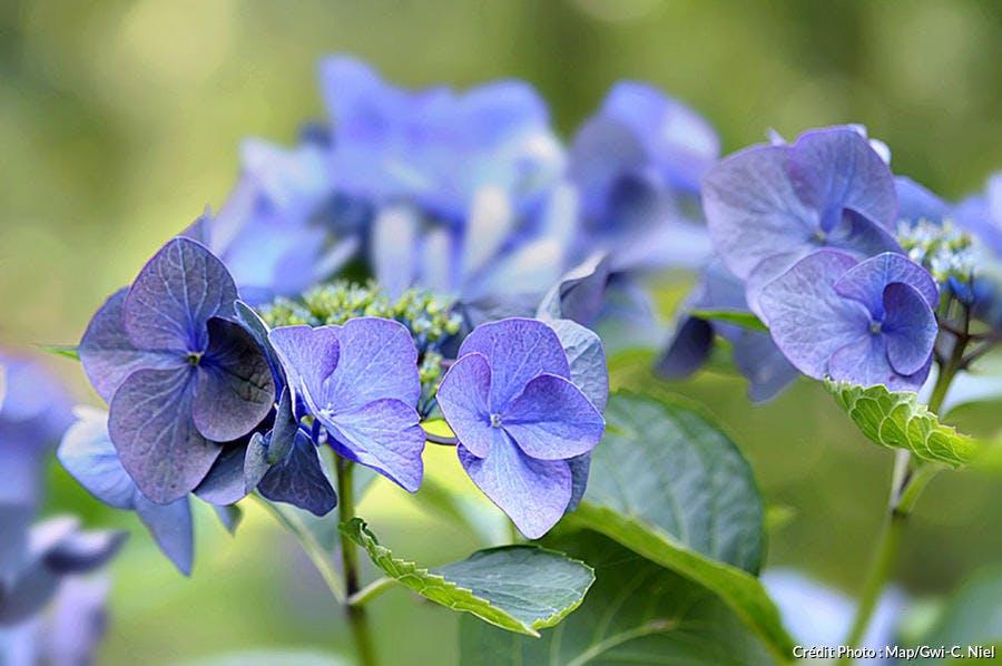 Ortensias bleues