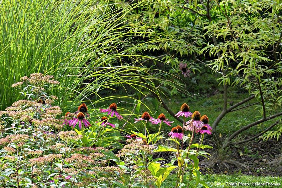 Echinacea purpurea 'Magnus', Spiraea japonica 'Anthony Waterer', Miscanthus 'Gracillimus' et Salix udensis 'Sekka' (à l'arrière)