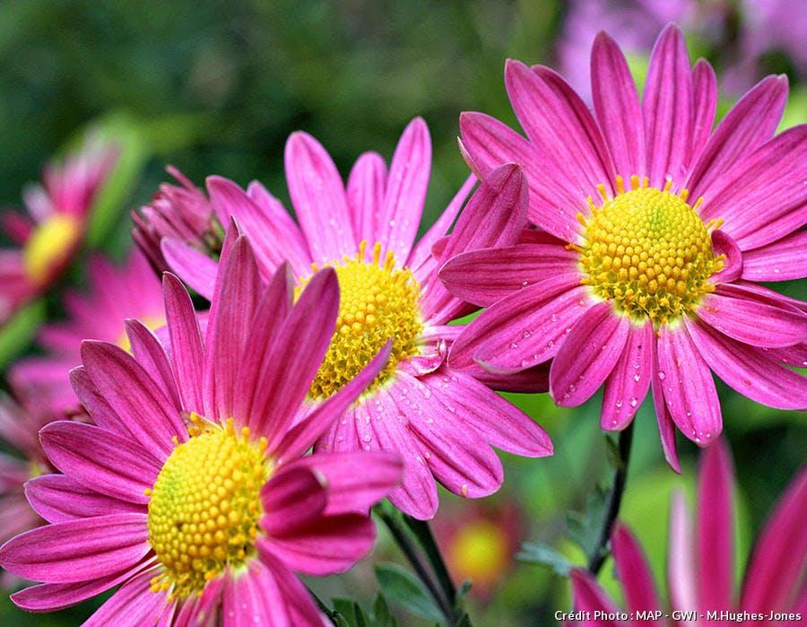 Chrysanthèmes à petites fleurs