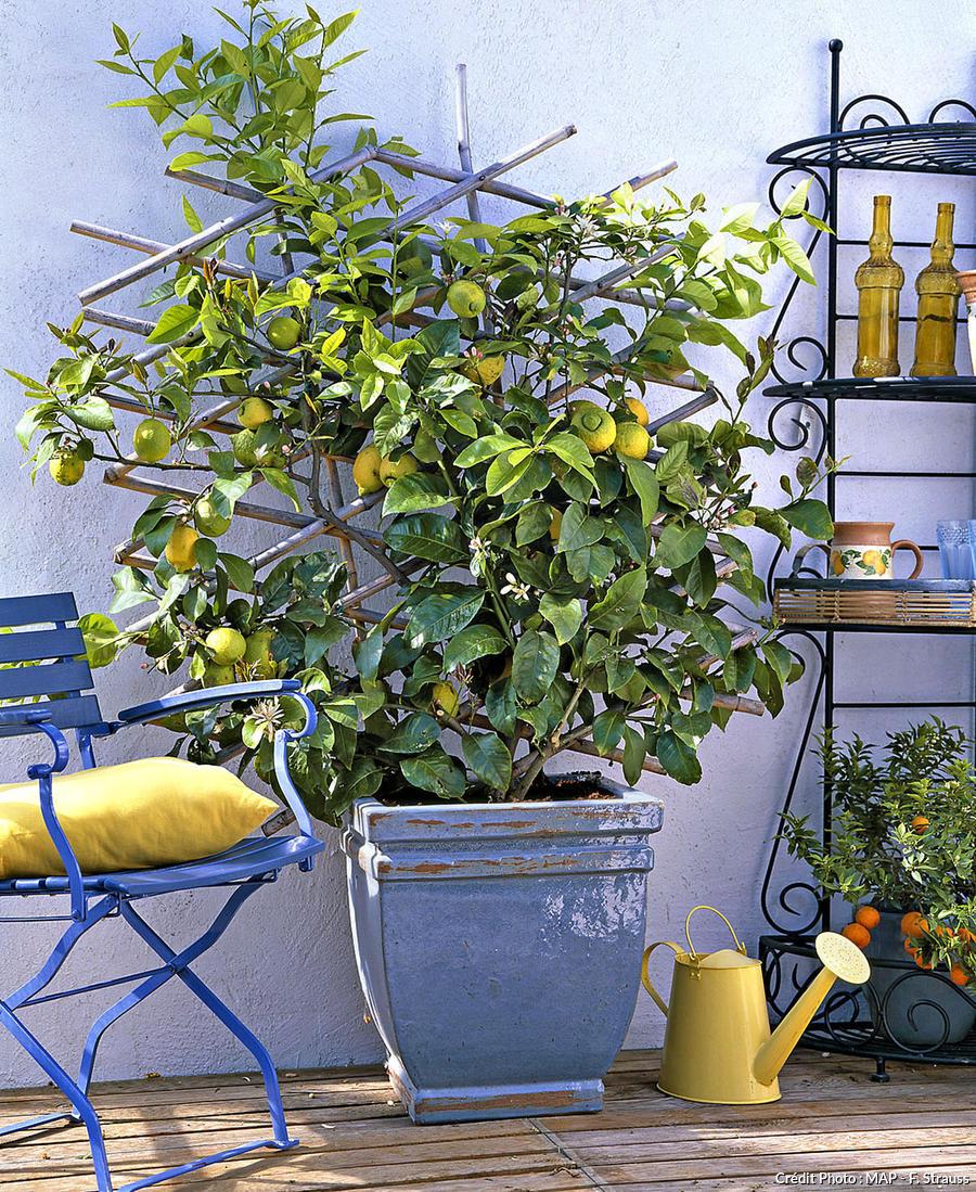 citronnier palissé