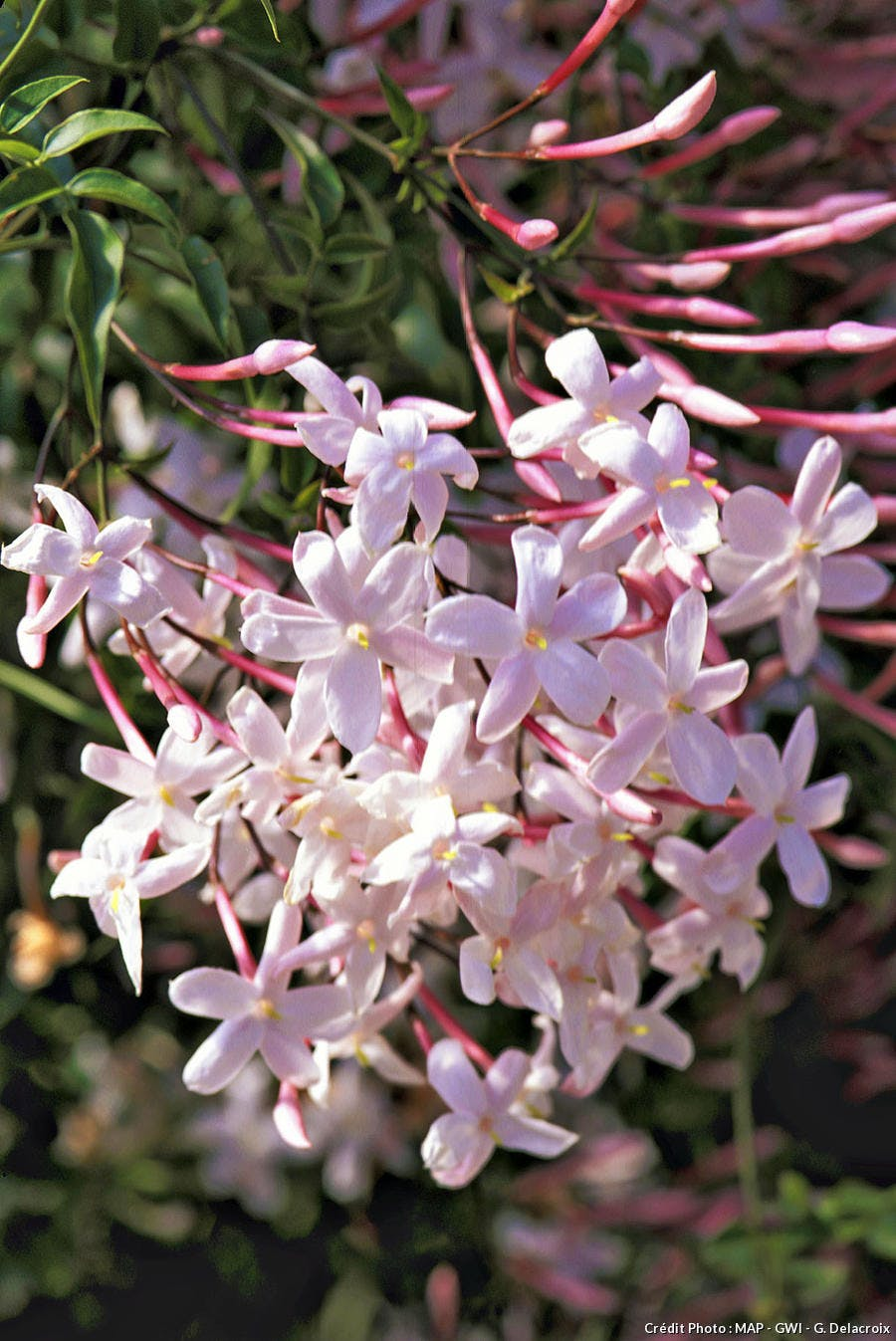 fleur de jasmin rose en gros plan