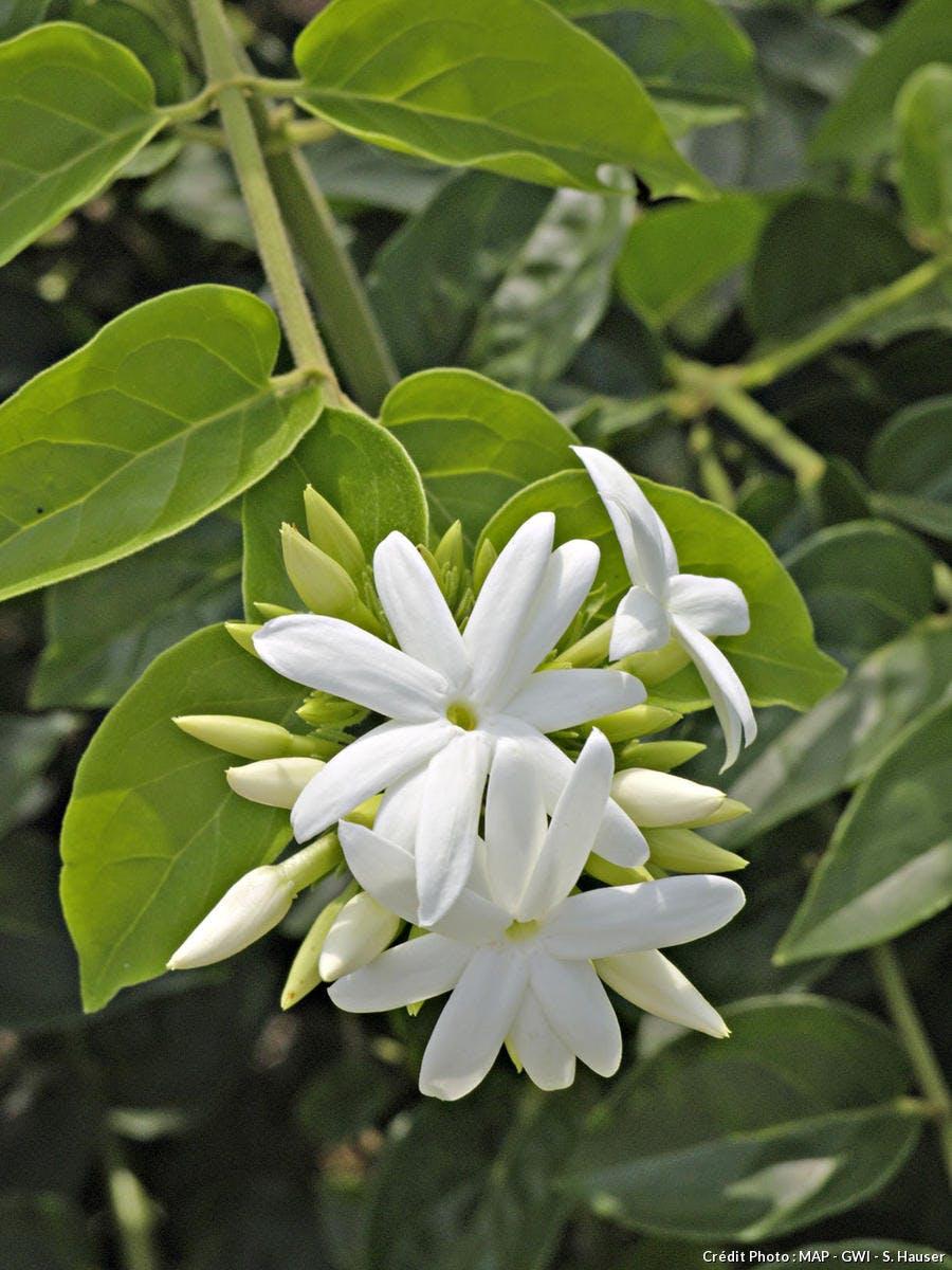 jasmin sambac