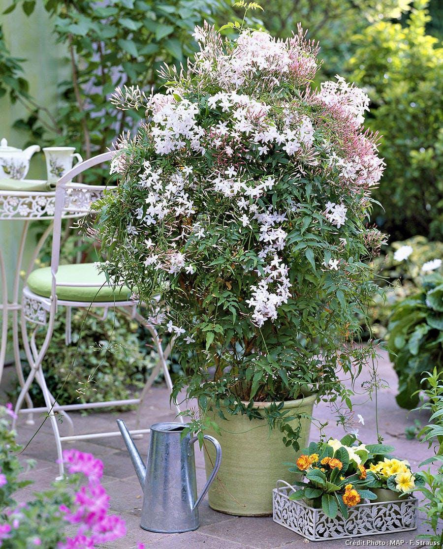 jasmin en fleurs dans un pot