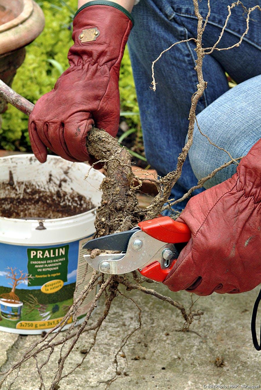 Praliner les racines