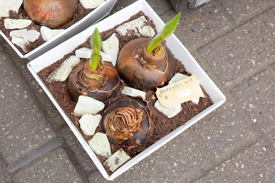 bulbe amaryllis pot