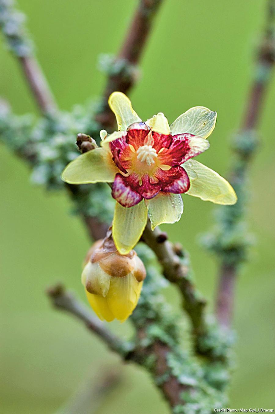 Chimonante fleur