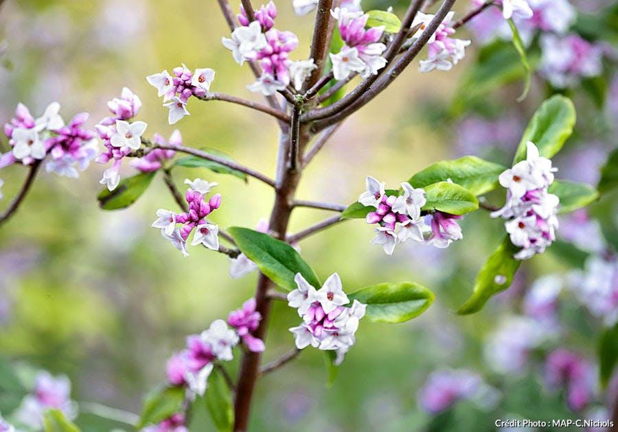 Fleurs de daphné
