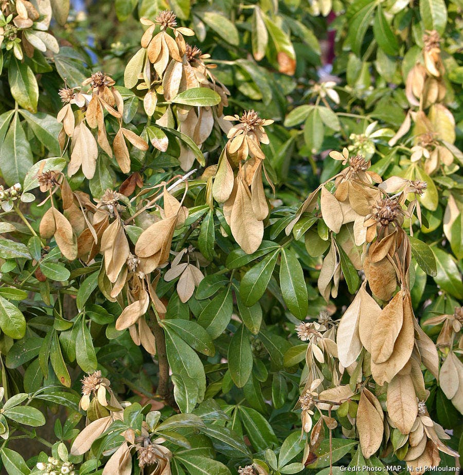 Plante dont les extrémités brunissent