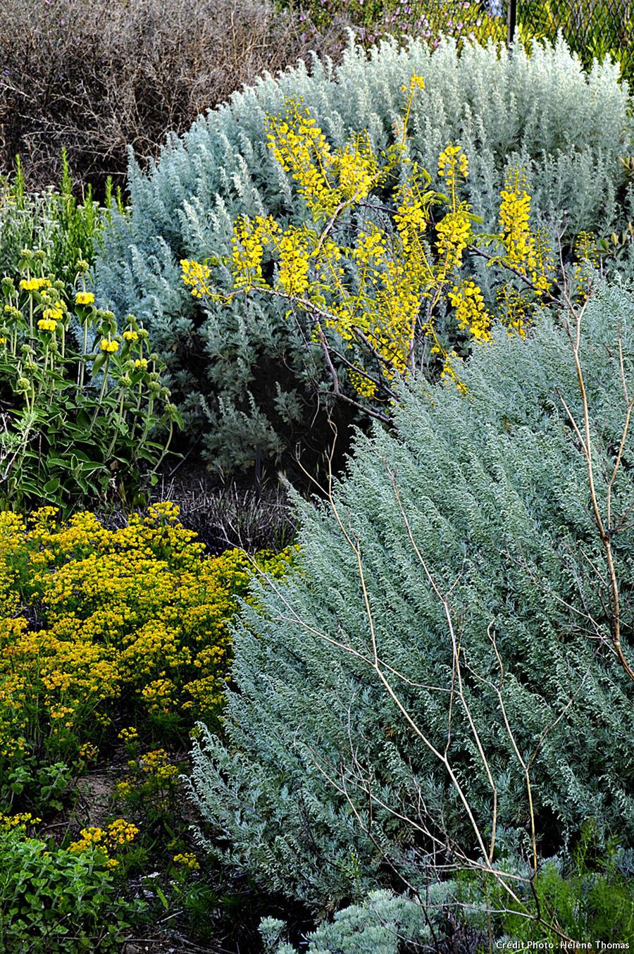 Artemisia canariensis