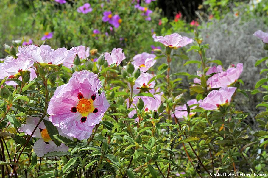 cistes roses