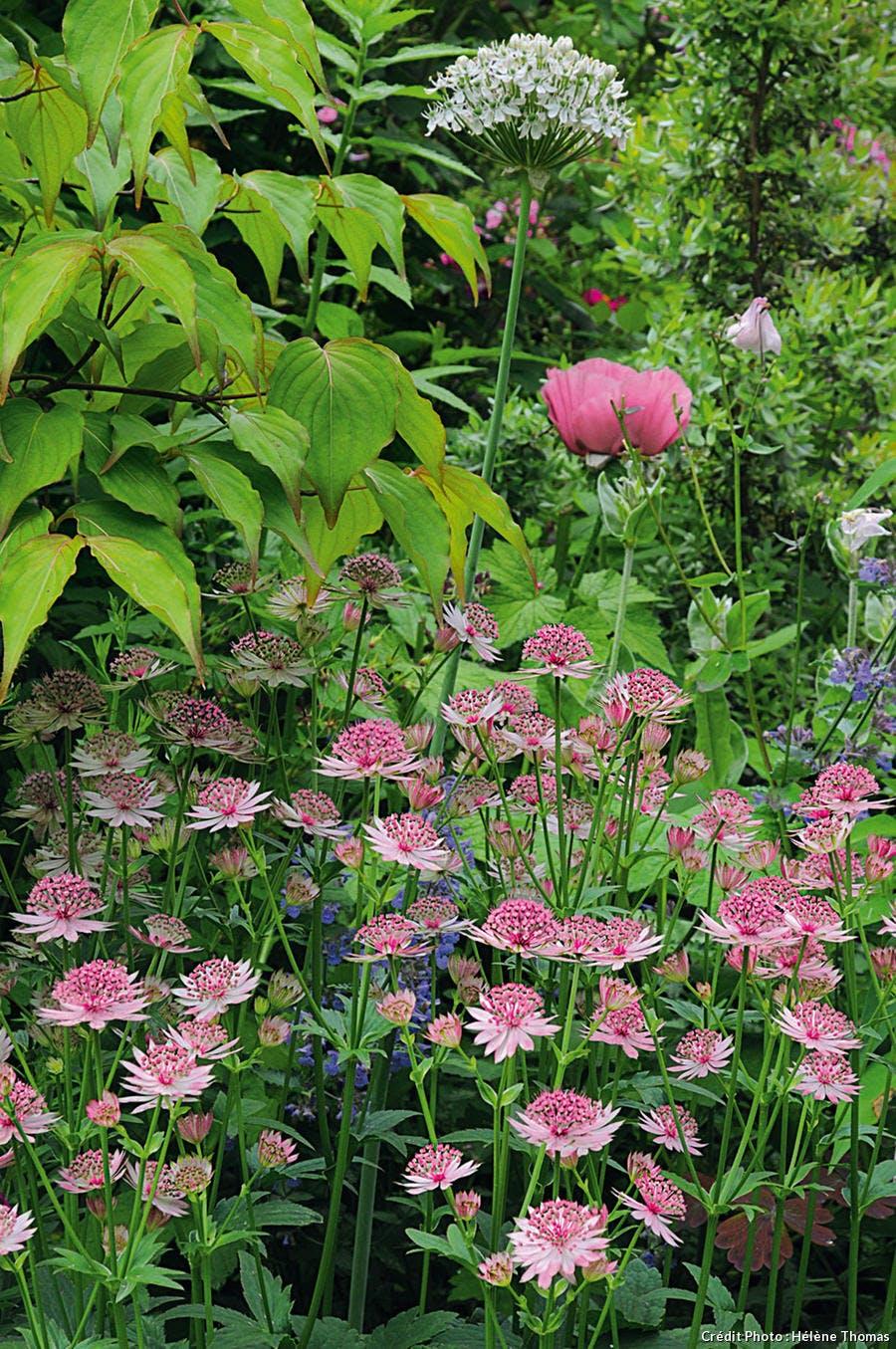l'Allium nigrum et pavot 'Patty's Plum'