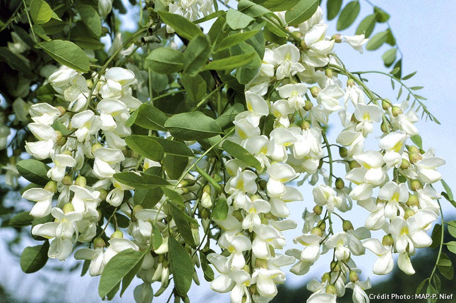Prueba las flores de acacia en donut - Détente Jardin