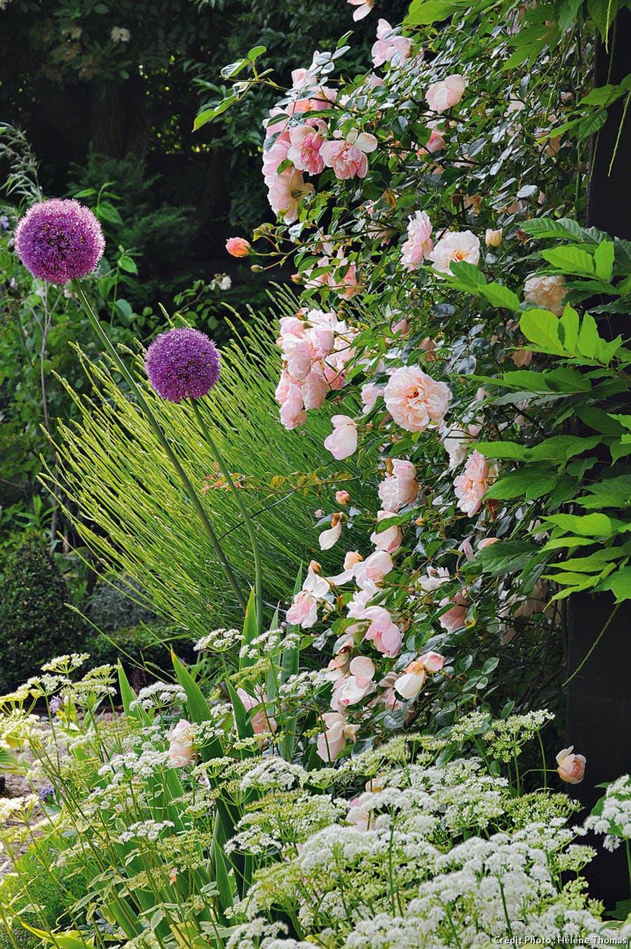 Allium giganteum et roses.