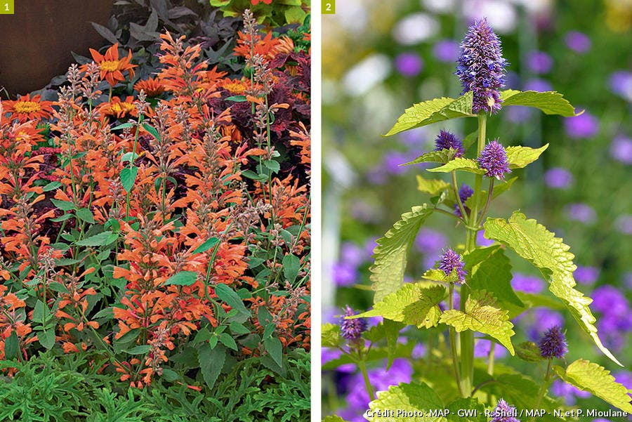 Agastache Acapulco orange et Golden Jubilée