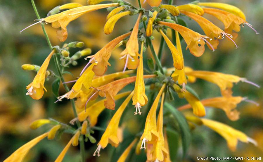 Agastache Bee Trapper Orange