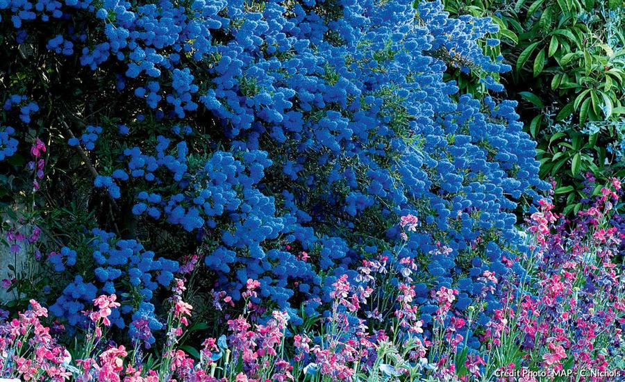 Céanothe bleue ou lilas de Californie