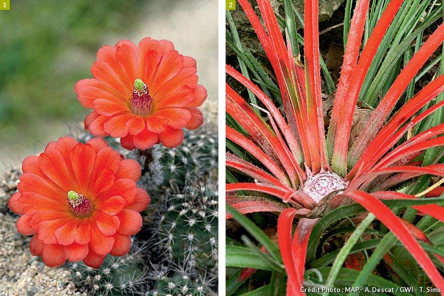Cactus et Fascicularia