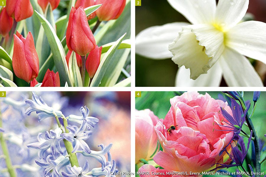 Tulipe panachée, narcisses, jacinthes, tulipes tardives