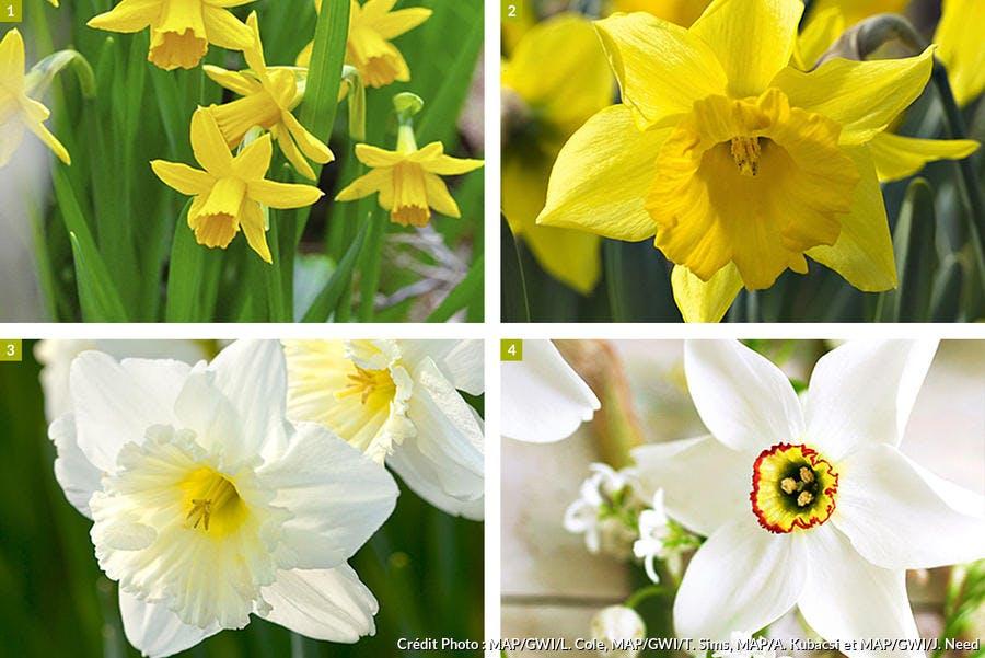 4 variétés de narcisses