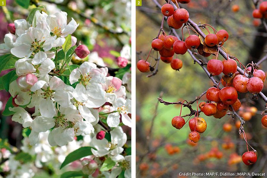 Pommier evereste à fleurs et à fruits