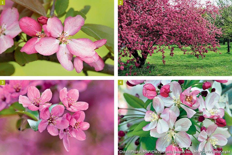 4 pommiers appréciés pour leurs fleurs