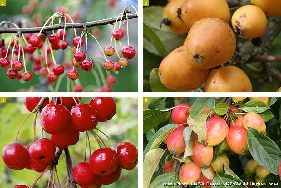 4 pommiers appréciés pour leurs beaux fruits