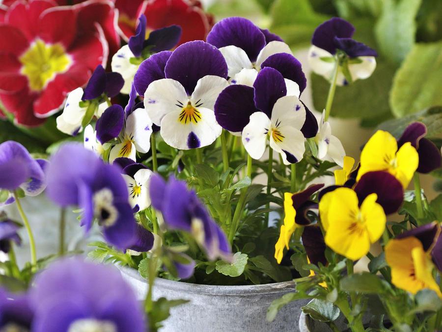 Pensées blanches et violettes en pot