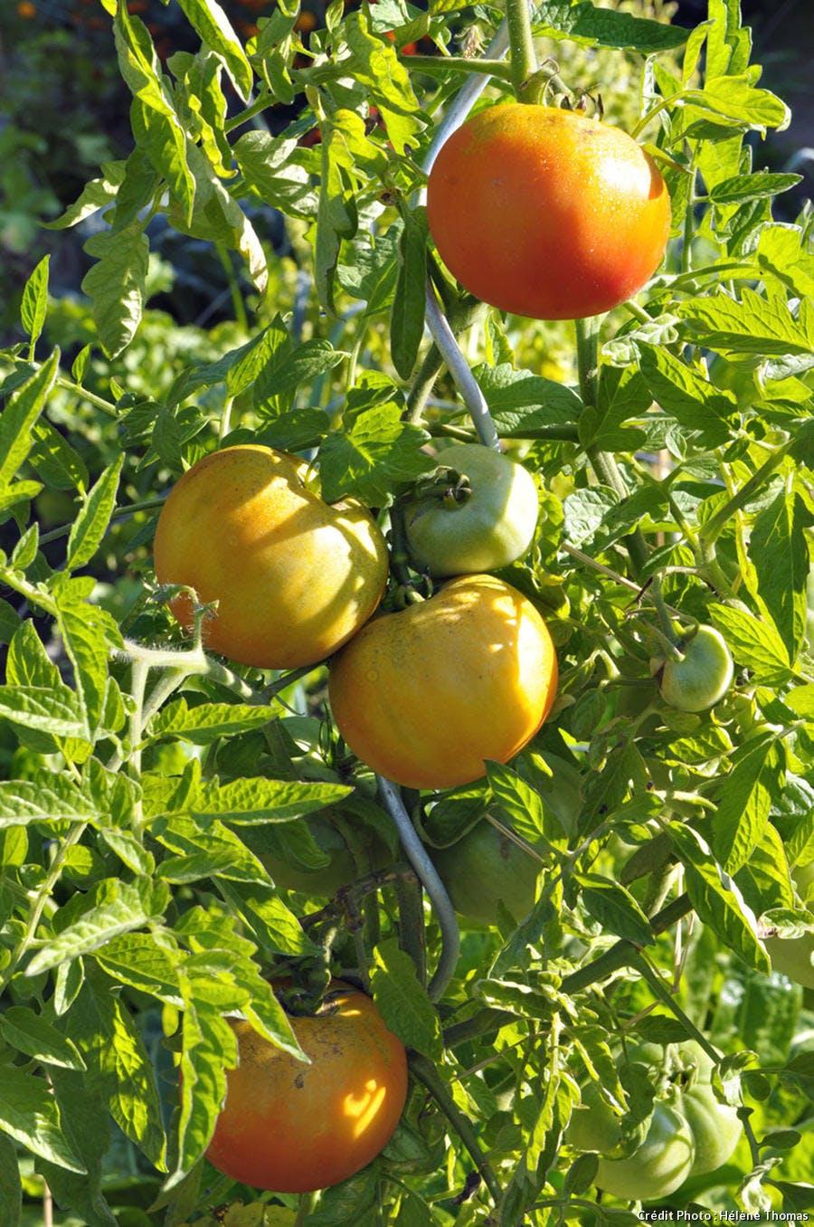 Potager Bordeaux tomates