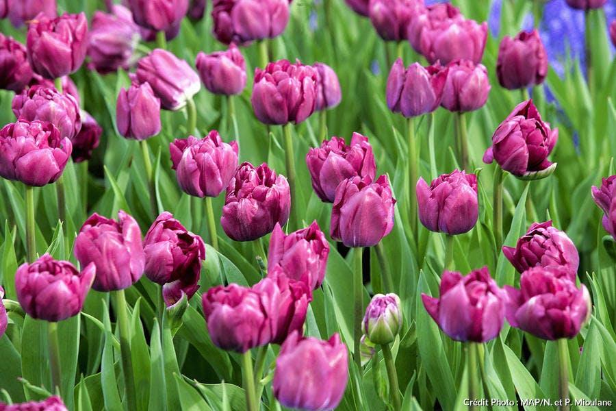 Tulipes Royal Acres