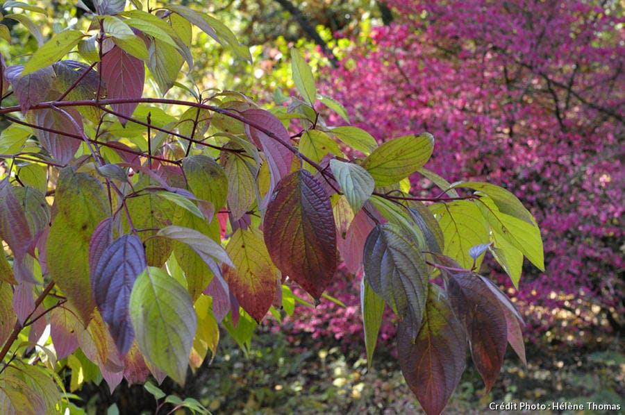 Bois Marquis, feuilles de cornus