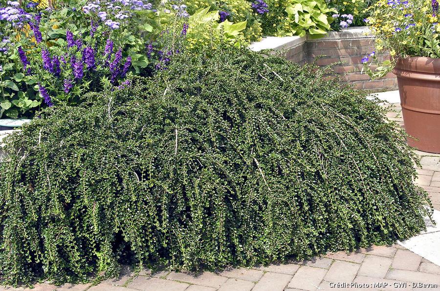 Cotoneaster hessei