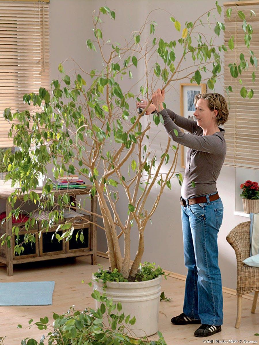 Tailler ficus, plantes d'intérieur
