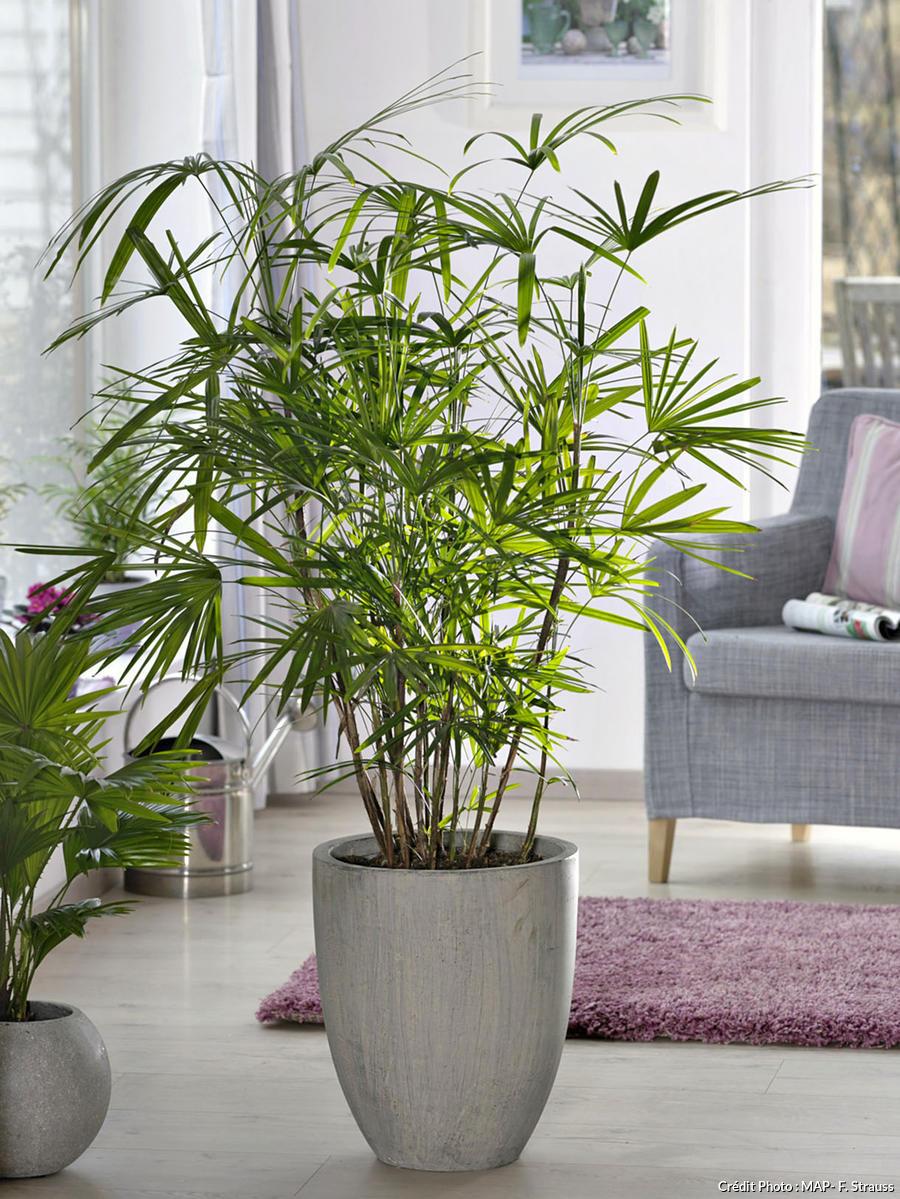 Palmier chinois, rhapis